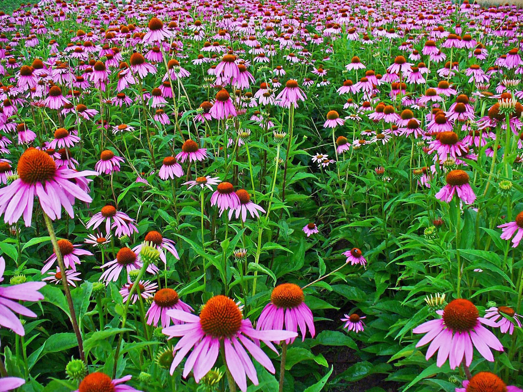 Field of Echinacea (cone flower)