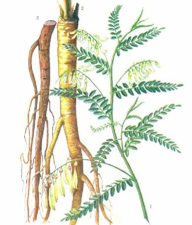 Astragalus Philippines