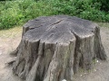 Tuud - tree stump.JPG