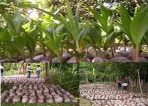 Coco Nurseries at Sitio Leneba, Sibuto, and Brgy.Semba, all in Datu Odin Sinsuat,Maguindanao.jpg