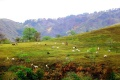 Cows on hillside of Benguet province Philippines.jpg
