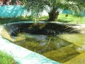 Lolong Crocodile in a pond, Bunawan Agusan del Sur.JPG