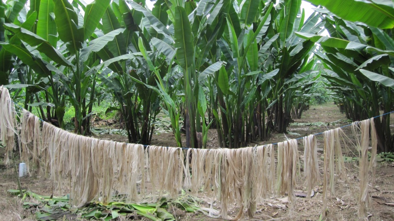 File:Abaca fiber drying and Abaca plants in Costa Rica.jpg