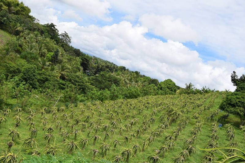 File:Dragon Fruit farm, Cacao, Zamboanga City.jpg
