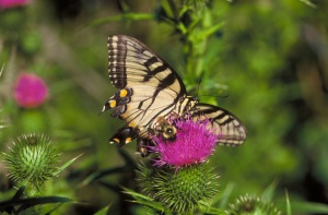Swallowtail and Bumblebee on thistle .JPG