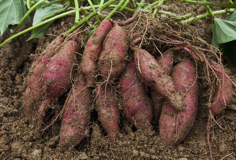 File:Camote - sweet potato.jpg