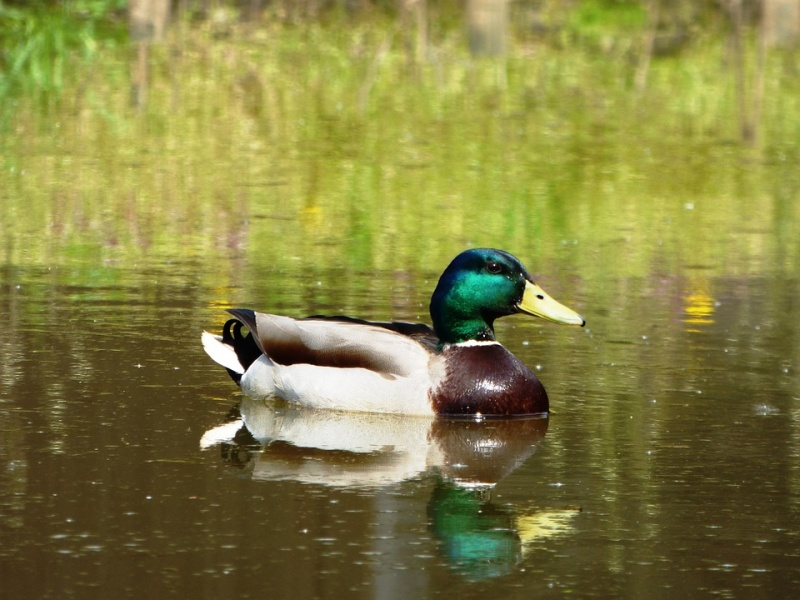 File:Pato na agua - duck on water.jpg
