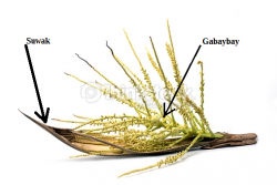Suwak y gabaybay - coconut flower and pod shell.png